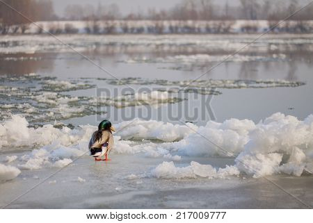 Mallard drake standing alone on ice in winter.