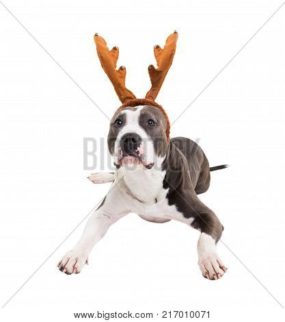 American pit bull terrier with New Year's horns of a deer on his head lies on a white background in studio.
