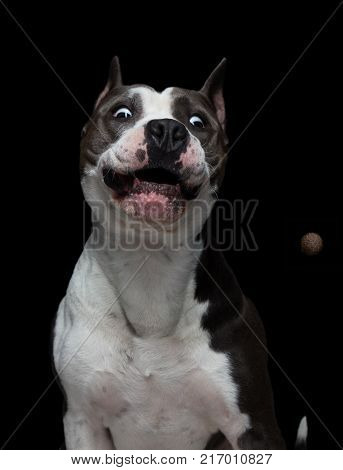 funny muzzle of a American pit bull terrier that catches food on a black background in a studio.