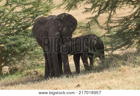 Mother Elephant foraging and her suckling baby
