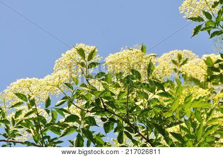 Elderflower or Sambucus  in full bloom in spring. Elderflower, European Elderberry, European Black Elderberry, Common Elder