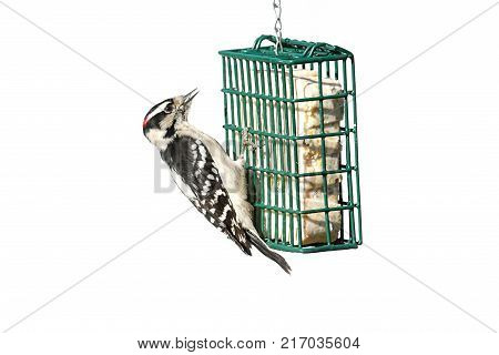 Downy Woodpecker (Picoides pubescens) on a suet feeder isolated with a white background