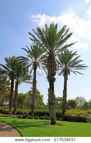 Palms in park Ramat Hanadiv Memorial Gardens of Baron Edmond de Rothschild, Zichron Yaakov, Israel