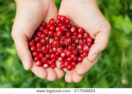 Raw fresh cowberry in hands. Fresh cowberry berries in hands.