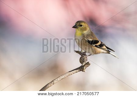 American Goldfinch perched on a branch with bokeh
