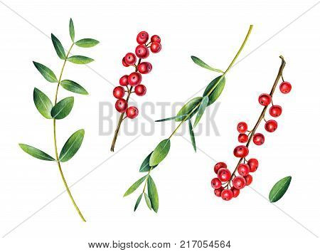 Eucalyptus and ilex branches. Red winterberry. Christmas plant. Watercolor illustration isolated on white.