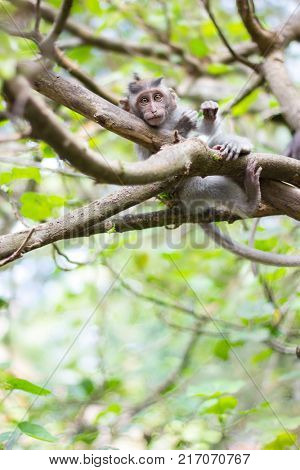 Longtailed macaque baby on the branch