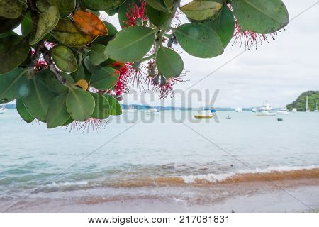 New Zealand Christmas tree known as Pohutukawa and Metrosideros excelsa