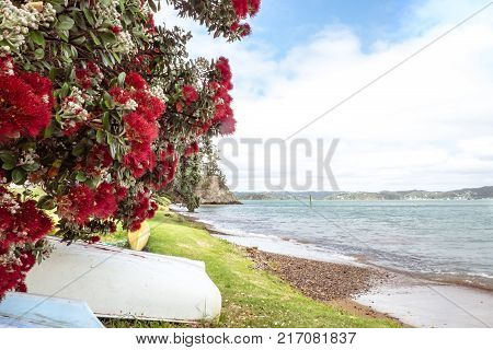 Flowering red Pohutukawa is known as the New Zealand Christmas tree flowers in summer at beach and coast.
