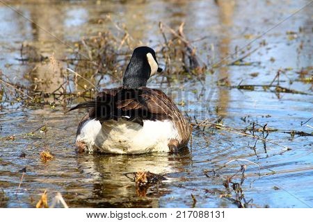 Canada Goose (Branta canadensis) at Deer Run Forest Preserve in Illinois