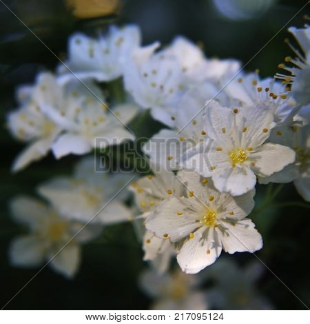 White beautiful fragile flowers with yellow stamens on dark background