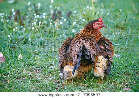 Mother hen hiding young chicks under her wings: Mother hen and young chicks in the farm.  Young chicks follow their mother hen while stay hidden under her wings.