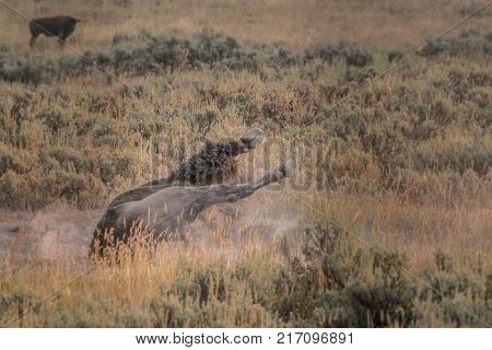 Bison Wallows in Dusty Field During Rut