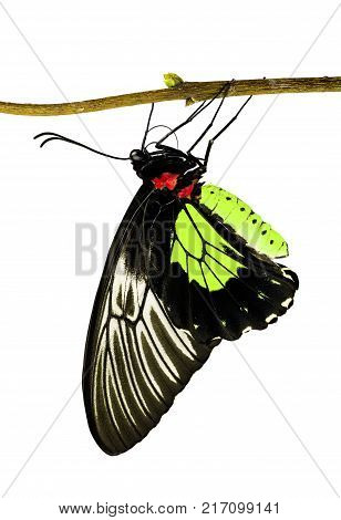 A golden birdwing butterfly, Triodes rhadamantus, is hanging on a tree branch, isolated on white background. Birdwings are big bright swallowtail butterflies. Color change yellow to red