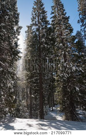 Winter forest with snowy giant sequoias in Sequoia National Park California USA