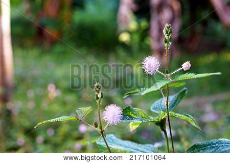 Mimosa pudica (Sensitive plant sleepy plant or the touch-me-not) growth on the ground
