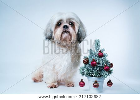 Shih tzu dog with small new year tree on white and blue background