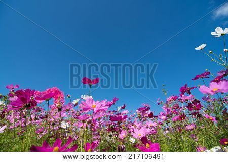 Cosmos flowers in a variety of colors in the field. There is a mountain back. Sky and clouds