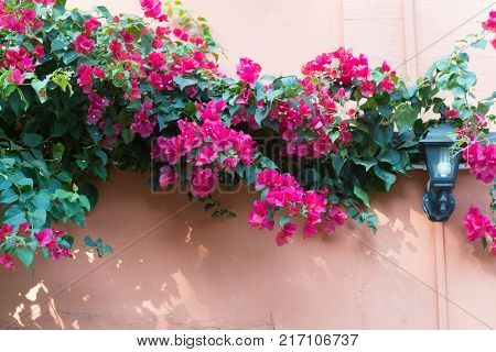 Pink bougainvillea flower blooming on the wall house.