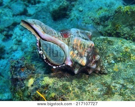 The amazing and mysterious underwater world of the Philippines, Luzon Island, Anilаo, shell of mollusc
