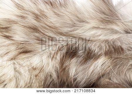 Silver fox real fur closeup. Fox wolf real fur texture pattern. Silver grey fur coat.