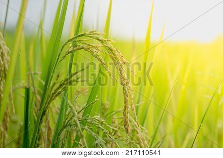 Close up ear of rice fields in the natural