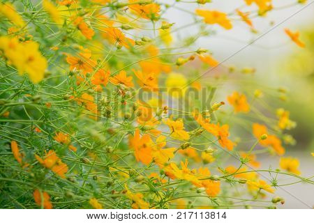 Horizontal image. The flowers tree are tilted. beautiful nature background of yellow blossom cosmos flowers