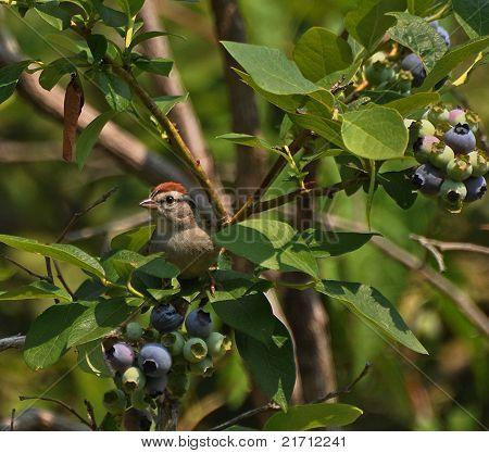 Sneaky Blueberry Bird