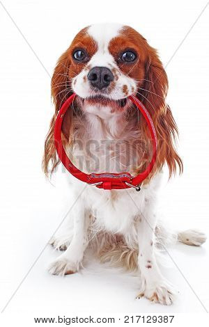 Cute cavalier king charles spaniel dog puppy on isolated white studio background. Dog puppy with red dog collar. Cute.