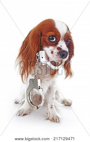 Dog with handcuffs. Illustration against animal cruelty or other concept. Cavalier king charles spaniel dog puppy photos. Cute puppy photos.