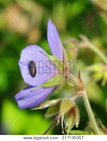 Forest geranium and rose chafer beetle, macrophotography.