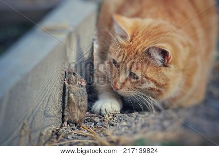 beautiful cat fun and cleverly plays with the captured mouse in the summer garden