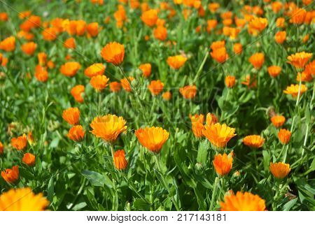 Colorful Calendula officinalis or Pot Marigold Common Marigold Scotch Marigold Ruddles Pot Marigold.
