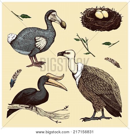 extinct species birds, griffon vultures, rhinoceros hornbill. moa, dodo and feather. engraved hand drawn in old sketch, vintage style for label. branches of trees and feathers