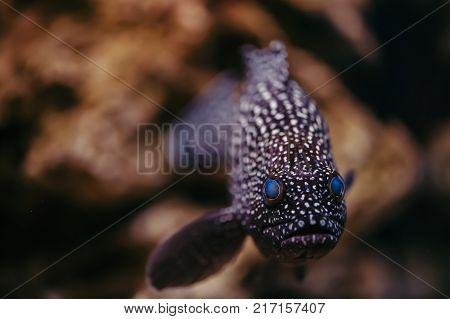 Cephalopholis Argus with bright blue eyes and spotted skin floats against the background of stones.