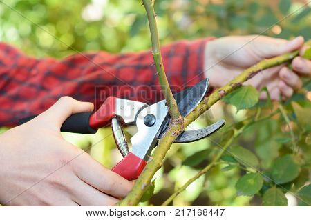 Pruning and Training Climbing Roses with Garden Pruning Scissors. Pruning climbing roses is a little different from pruning other roses.