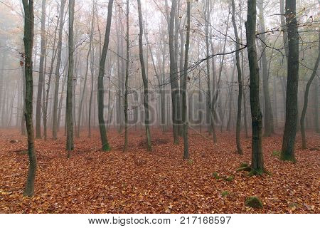 Misty autumn beech forest - woodland in autumn