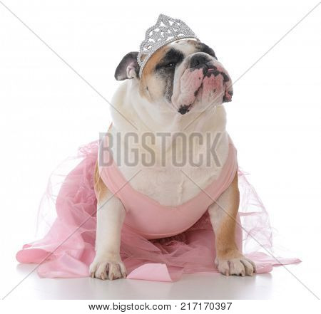 female english bulldog wearing pink tutu on white background