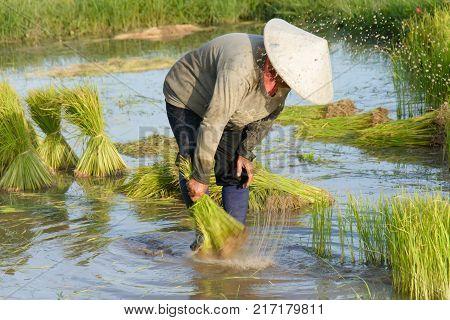 Thai Farmer Transplant Rice Seedlings In Rice Field Farmland