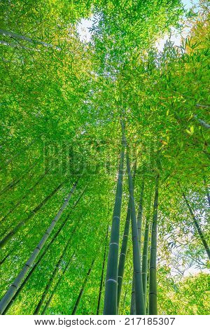 Forest of bamboo in Hase-dera Temple or Hase-kannon in Kamakura, Japan. Green bamboo background. Meditative and buddhism concept. Vertical shot.