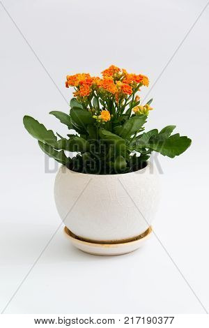 Orange calanchoe in a white pot on a light background