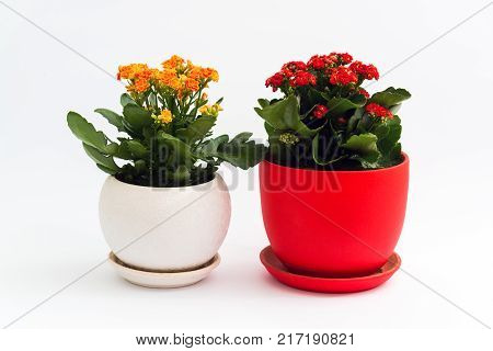 Orange and red kalanchoe in a pot on a light background