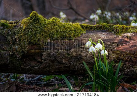 Blooming Of White Spring Snowflake In Forest