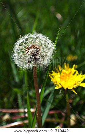 Dandelion seed head with the familiar yellow mature flower in the background.