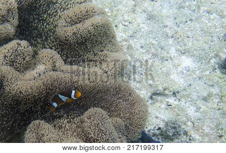 Clownfish in its anemone in Thailand sea