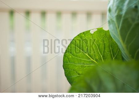A detail shot of the veins on a cabbage leaf with a white picket fence in the background.