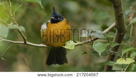 Black crested yellow bulbul on tree bark