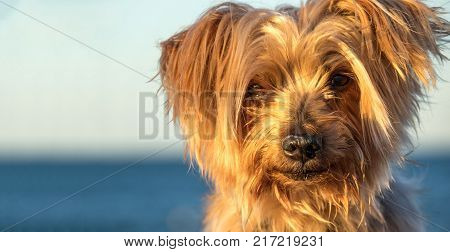 expressive close-up dog portrait with Copy space, blurred sea background. Doggy hairy ear, nose and snout, Yorkshire Terrier illuminated by warm sunset light.