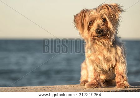 dog seated portrait with copy space, warm sunset light colors, blurred sea background. Doggy like lion hairy ear, nose and snout, Yorkshire Terrier