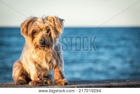 dog seated portrait with copy space at one side, warm sunset light colors, blurred sea background. Doggy like lion hairy ear, nose and snout, Yorkshire Terrier